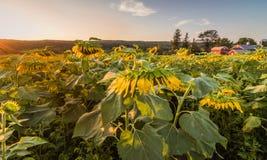 向日葵的领域在一个农村农场压垮 库存图片