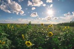 向日葵的领域在一个夏日, fisheye风景 库存图片