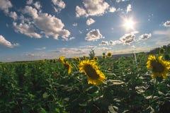 向日葵的领域在一个夏日, fisheye风景 免版税库存图片