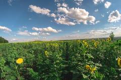 向日葵的领域在一个夏日, fisheye风景 库存照片
