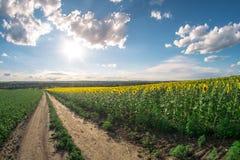 向日葵的领域在一个夏日, fisheye风景 图库摄影