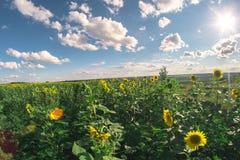 向日葵的领域在一个夏日, fisheye风景 免版税库存照片