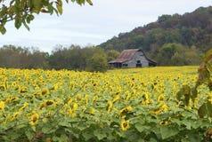 向日葵的领域在一个老烟草谷仓前的 免版税图库摄影