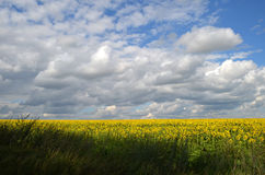 向日葵的领域在多云天空的背景的 库存图片