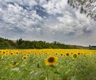 向日葵的领域在托斯卡纳在7月 库存照片