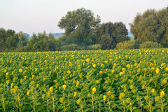 向日葵的领域在日出的 库存照片