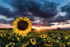 向日葵的领域在日落的 免版税库存照片