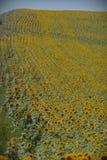 向日葵的领域在普罗旺斯,法国 图库摄影