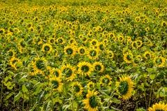 向日葵的领域在朴崇公区,呵叻府,东北泰国 免版税图库摄影