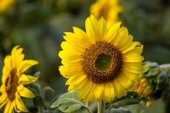 向日葵的领域在朴崇公区,呵叻府,东北泰国 免版税库存照片