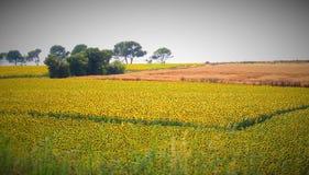向日葵的领域在法国 库存图片