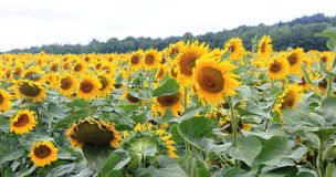 向日葵的领域在法国 免版税库存照片