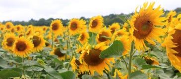 向日葵的领域在法国 免版税图库摄影
