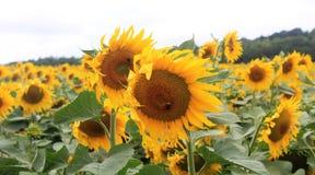 向日葵的领域在法国 图库摄影