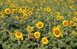 向日葵的领域在绽放的 免版税库存照片