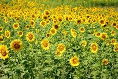 向日葵的领域在阳光下 图库摄影