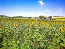 向日葵的领域在马尔什地区小山的在亚得里亚海,意大利的 库存图片