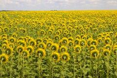 向日葵的领域支持 开花的向日葵草甸 晴朗横向的夏天 免版税图库摄影