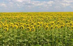 向日葵的领域支持 明亮的开花的向日葵草甸 晴朗横向的夏天 免版税库存照片