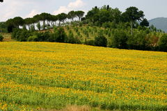 向日葵的领域有典型的托斯卡纳背景 免版税库存图片