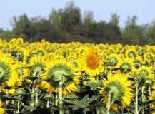 向日葵的领域,一朵花在对面被转动直接 免版税库存照片