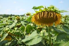 向日葵的领域-储蓄图象 库存图片
