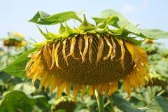向日葵的领域-储蓄图象 免版税库存照片