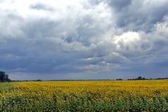 向日葵的黄绿色领域在天空阴云密布下的 库存照片