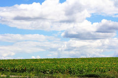 向日葵的绿色领域在天空下 免版税库存图片