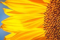向日葵的细节 库存照片