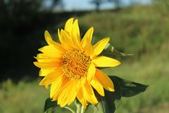 向日葵看太阳 库存照片