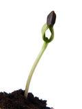 向日葵种子萌芽 免版税库存图片