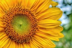 向日葵种子 免版税库存照片