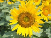 向日葵绽放在庭院里 免版税库存图片