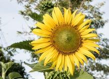 向日葵美丽在阳光下 库存照片