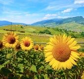 向日葵美好的风景  免版税库存照片