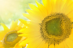 向日葵背景 库存照片