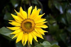 向日葵自然偶象秀丽  免版税库存照片