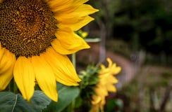 向日葵花以绿色和黄色 免版税库存图片