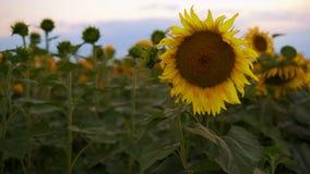 向日葵花卉生长在领域在晚上 影视素材