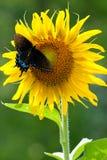 向日葵蝴蝶 库存照片
