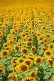 向日葵行在一个领域的作为背景,美好的夏天风景 库存图片