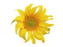 向日葵被隔绝的黄色 免版税库存图片