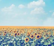 向日葵调遣在天空背景,减速火箭称呼,县风景,种田 免版税库存照片