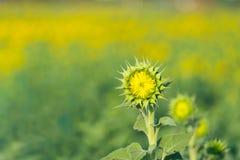 向日葵起动开花 图库摄影