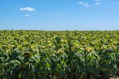 向日葵阶段填装在领域播种,在与云彩的蓝天下 免版税库存图片