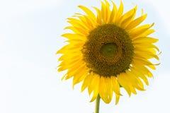 向日葵隔绝有白色背景 免版税图库摄影