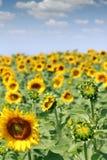 向日葵领域农业产业 免版税图库摄影