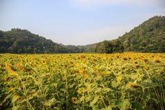 向日葵领域凋枯的耷拉 免版税图库摄影