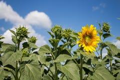 向日葵领域和夏天天空 库存照片